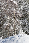 Snowy pine forest - Aosta Valley - Val Veny — Stock Photo