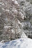 Snowy pine forest - Aosta Valley - Val Veny — Stok fotoğraf
