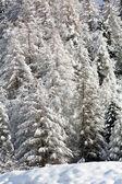 Snowy pine forest - Aosta Valley - Val Veny — Stock Photo