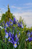 Bearded iris - iris — Stock Photo