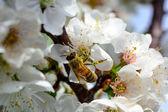 Bee op cherry — Stockfoto