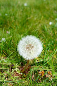 Dandelion (Taraxacum) — Stock Photo