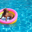 Dog on airbed in the pool — Stock Photo