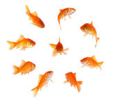 Goldfish in a circle — Stock Photo