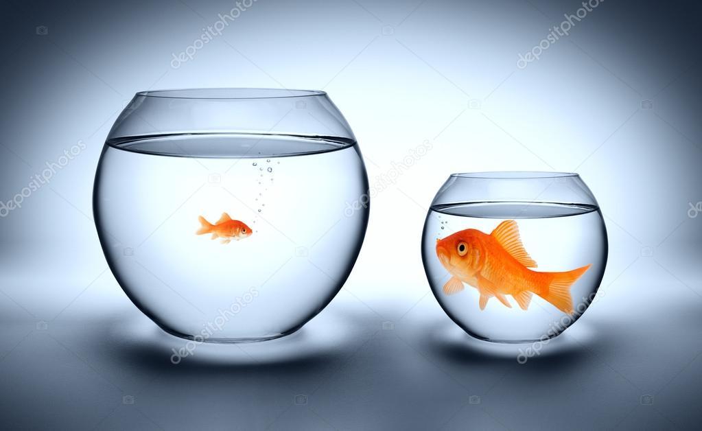 Gros poisson rouge dans un petit aquarium concept for Gros poisson aquarium