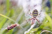 Wasp spider with prey — Stockfoto