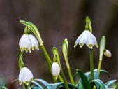 Wild Snowflake Flower — Stock Photo