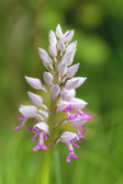 Rare Bavarian wild Orchid — Foto Stock