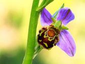 Ophrys Apifera — Foto de Stock