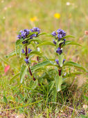 Cross Gentian — Stockfoto