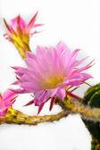Echinopsis — Stockfoto
