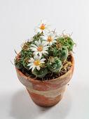 Blooming Cactus — Stock Photo