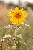 Yellow Sunflower — Stock Photo