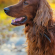 Stock Photo: Irish setter.