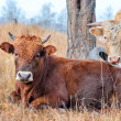 Stock Photo: Two bulls in a pasture.
