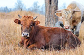 Two bulls in a pasture. — Stock Photo