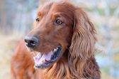 Beautiful dog. — Stock Photo