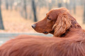 Irrish setter. — Foto Stock