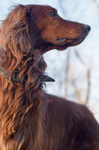 Irish Setter. — Stockfoto