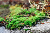 Moss and thawing snow. — Stock Photo