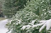 Snow-covered needles. — Foto de Stock