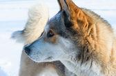 Laika the dog. — Stock Photo