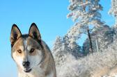Perro lobo. — Foto de Stock