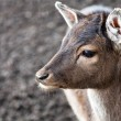 Close up of a young deer — Stock Photo