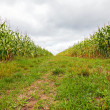 Stock Photo: Between two corn fields