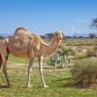 Camels in the UAE — Stock Photo