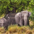 Indian Elephants — Stok fotoğraf