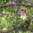 Macaque — Stockfoto #32464589