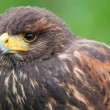 Bird of prey — Stock Photo #38251407