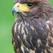 Bird of prey — Stock Photo #38251455