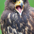 Stock Photo: Bird of prey