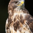 Bird of prey — Stock Photo #38251683