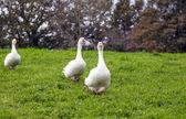 Geese — Stockfoto
