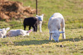 Many lambs — Stock Photo
