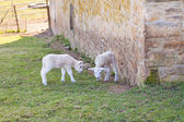 Young lambs — Stockfoto