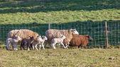 Wiele owiec — Zdjęcie stockowe