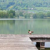 утка на пирсе с озером на заднем плане — Стоковое фото