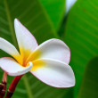 Frangipani Flower in the Garden — Stock Photo