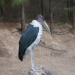 The Marabou Stork — Stock Photo