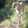 Stock Photo: Cheetah walking in high grass