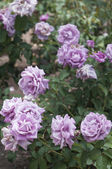 Purple roses in a park — Stock Photo