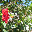 Chinese rose bush — Stock Photo