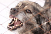 Angry barking dog in a steel cage — Stock Photo