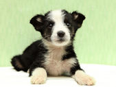 The little black and white puppy on bed — Stock Photo