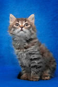 Grey kitten isolated on blue background — Stock Photo