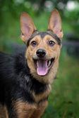 Happy dog-porträt im sommer — Stockfoto